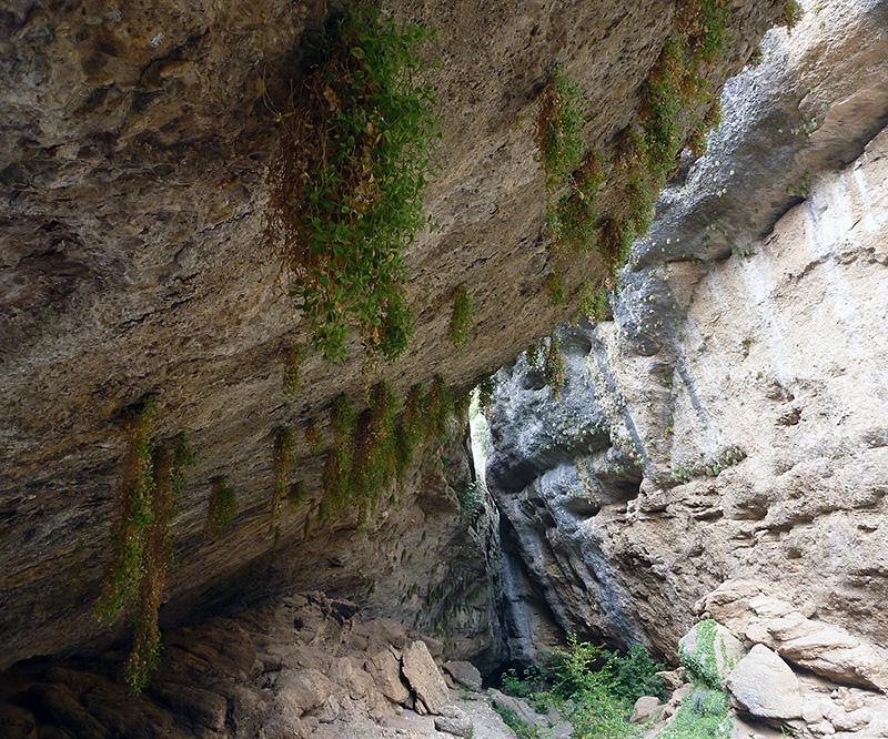 Colonia de  Petrocopsis  a la salida de los oscuros del barranco del Lumos. Foto FGZ