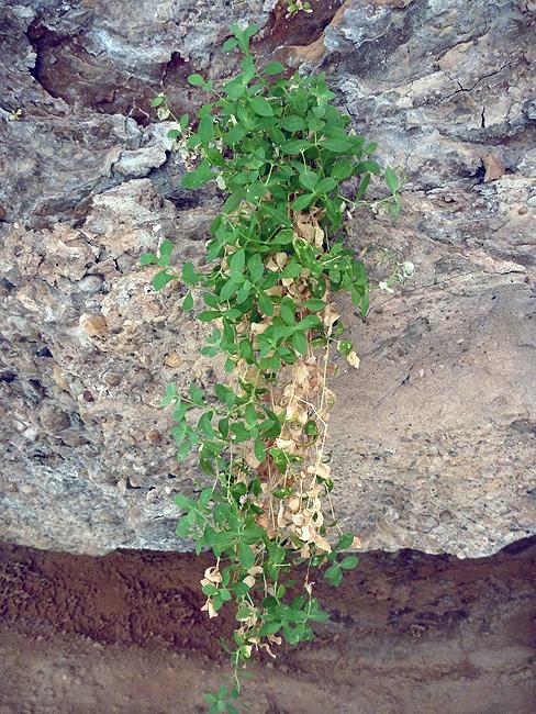 Petrocopsis guarensis.    Foto FGZ