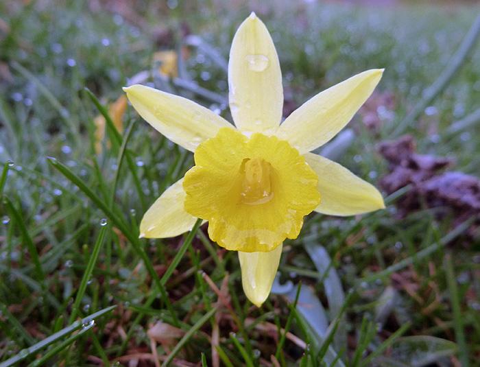Narcissus pseudonarcisus. Foto FGZ