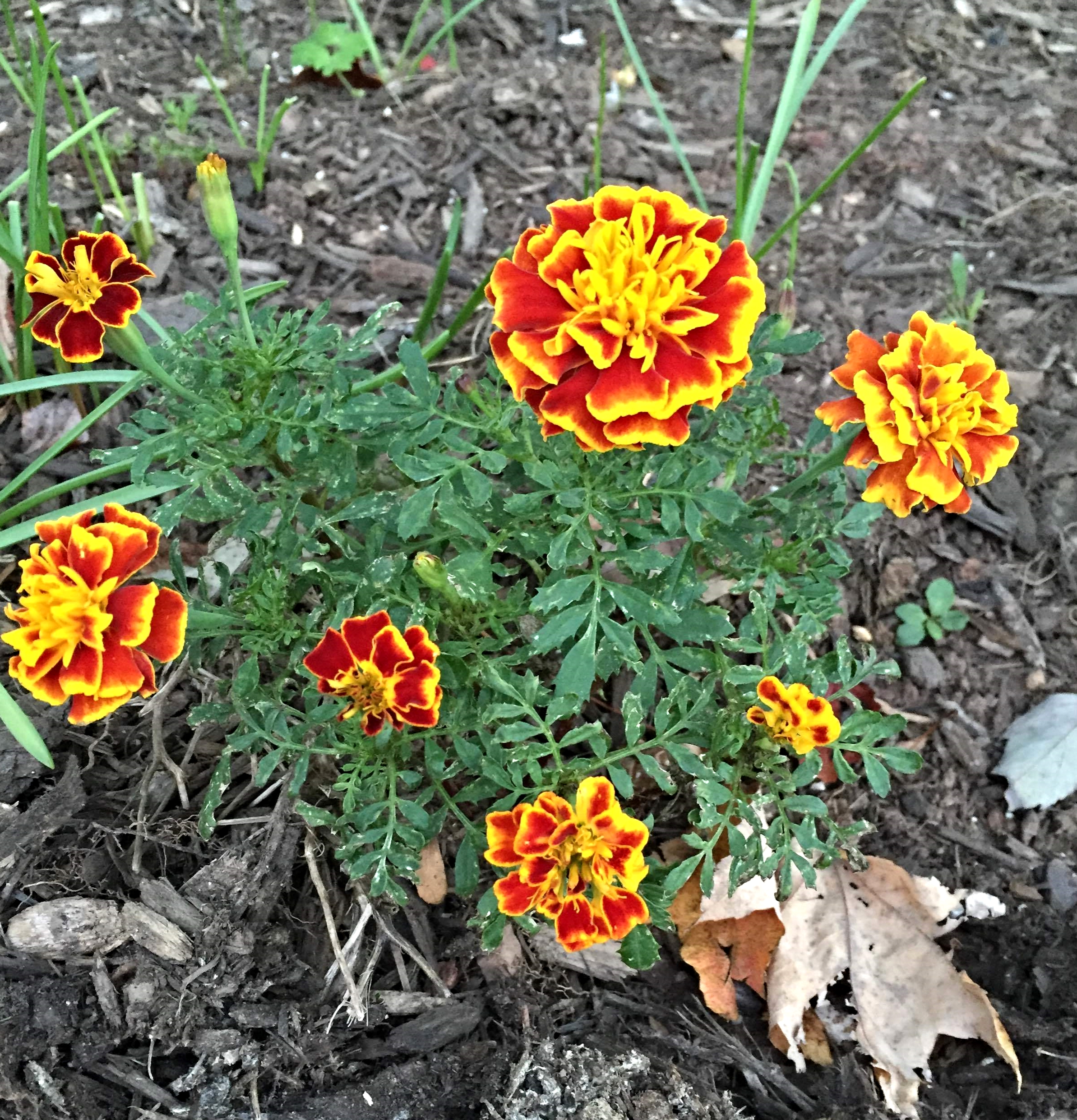 The marigolds returned to life to display their vibrant colors.