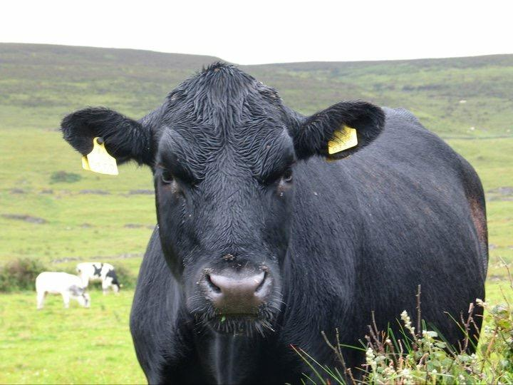 This bull has beef with America's obsession with meat. Image: Sean Callahan.