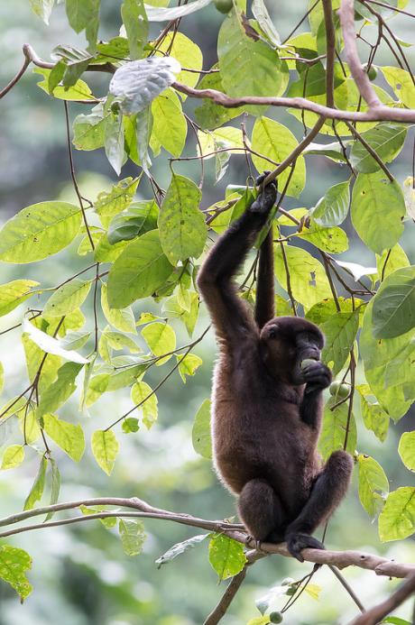Yasuní has TEN species of monkeys! Pictured above is a woolly monkey enjoying some rainforest fruit. Photo Credit:  Jon Suh