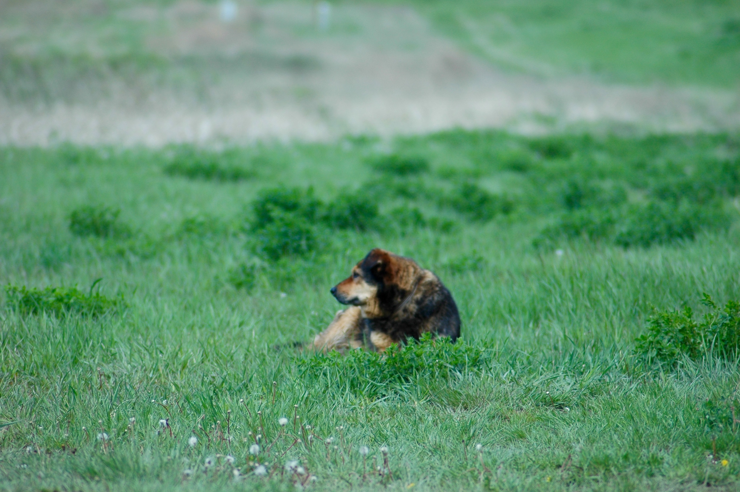 Our loyal companion, Copper, taking a rest. (A.Gross, La Plant, May 2015)