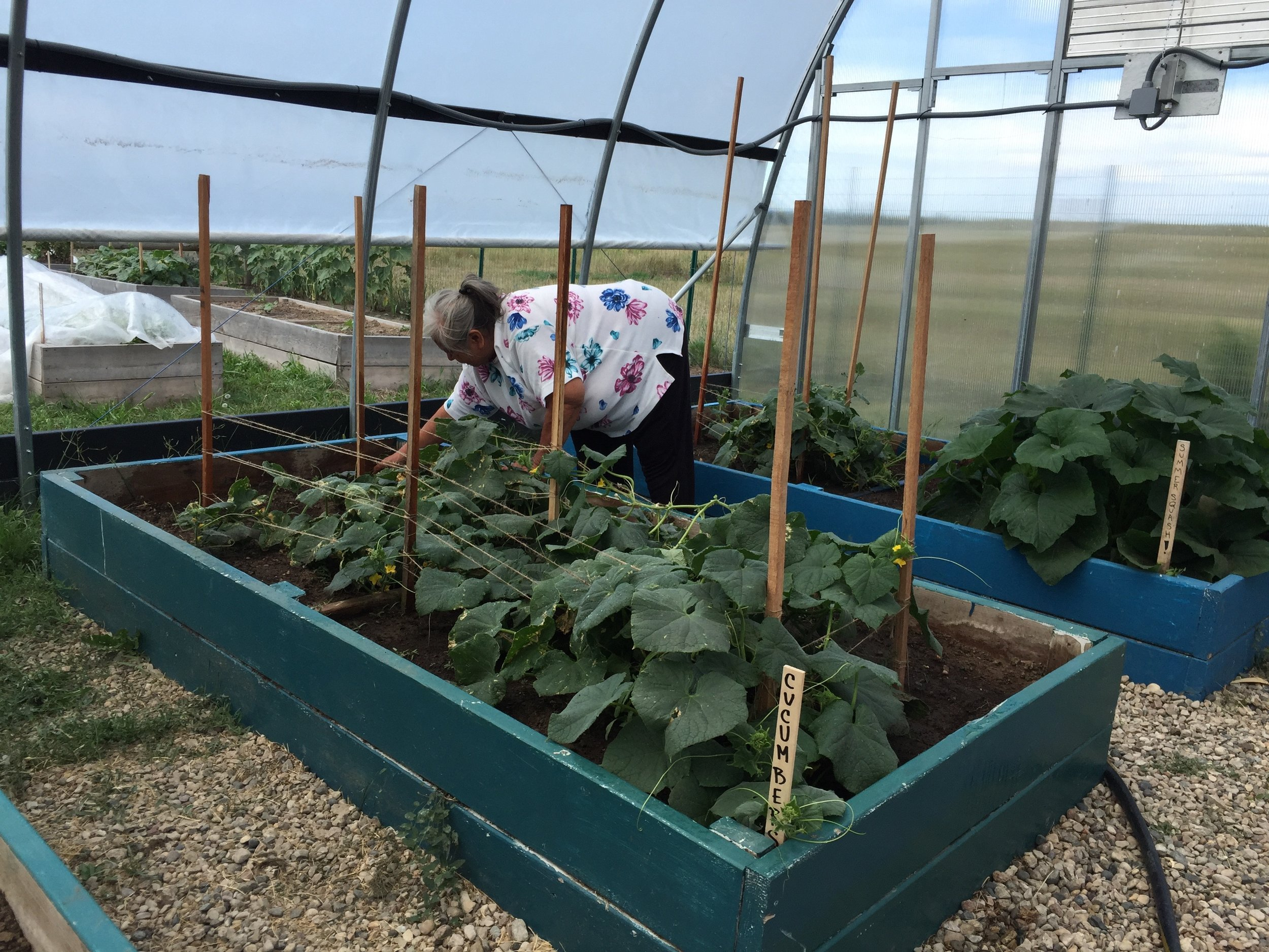 An elder harvests cucumbers in the greenhouse!