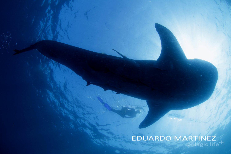 37 Tiburon Ballena - Eduardo Martinez - Cancun - Julio 2011.jpg