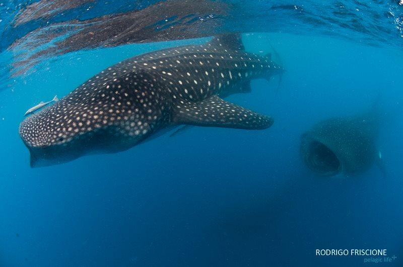 642 Tiburon Ballena y Mantas-Rodrigo Friscione-Cancun-Junio 2013.jpg