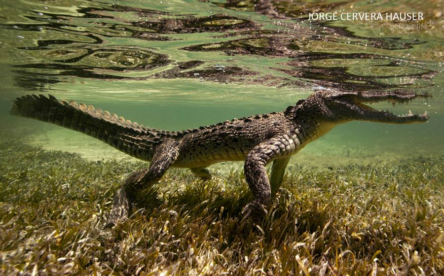 700 Caribean Dragons-Jorge Cervera-Chinchorrro-Julio 2013.jpg