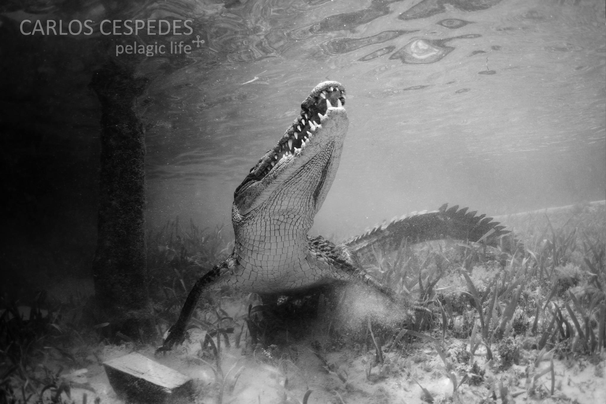 673 -Carribean Dragons-Carlos Cespedes-Chinchorro Xcalak-Marzo 2013.jpg