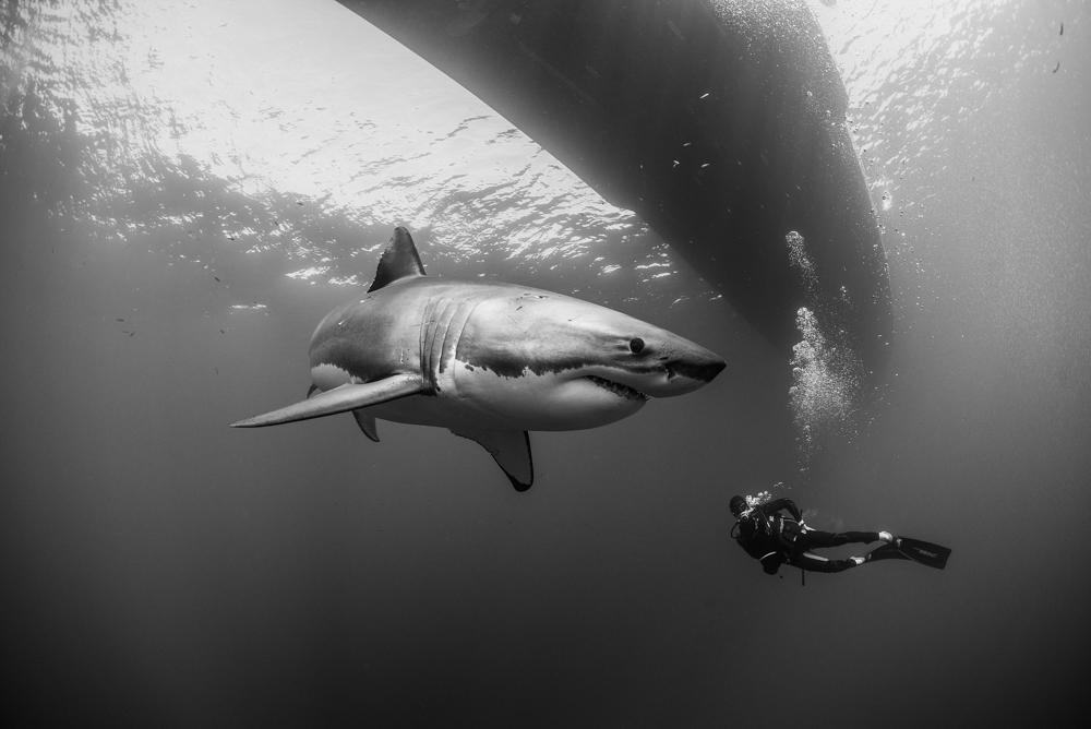 DSC_2654 tiburon blanco buzo rene b&w RFW.jpg