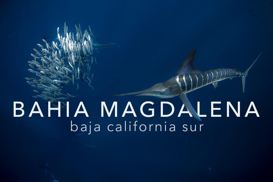 PELAGIC LIFE BAHIA MAGDALENA.png