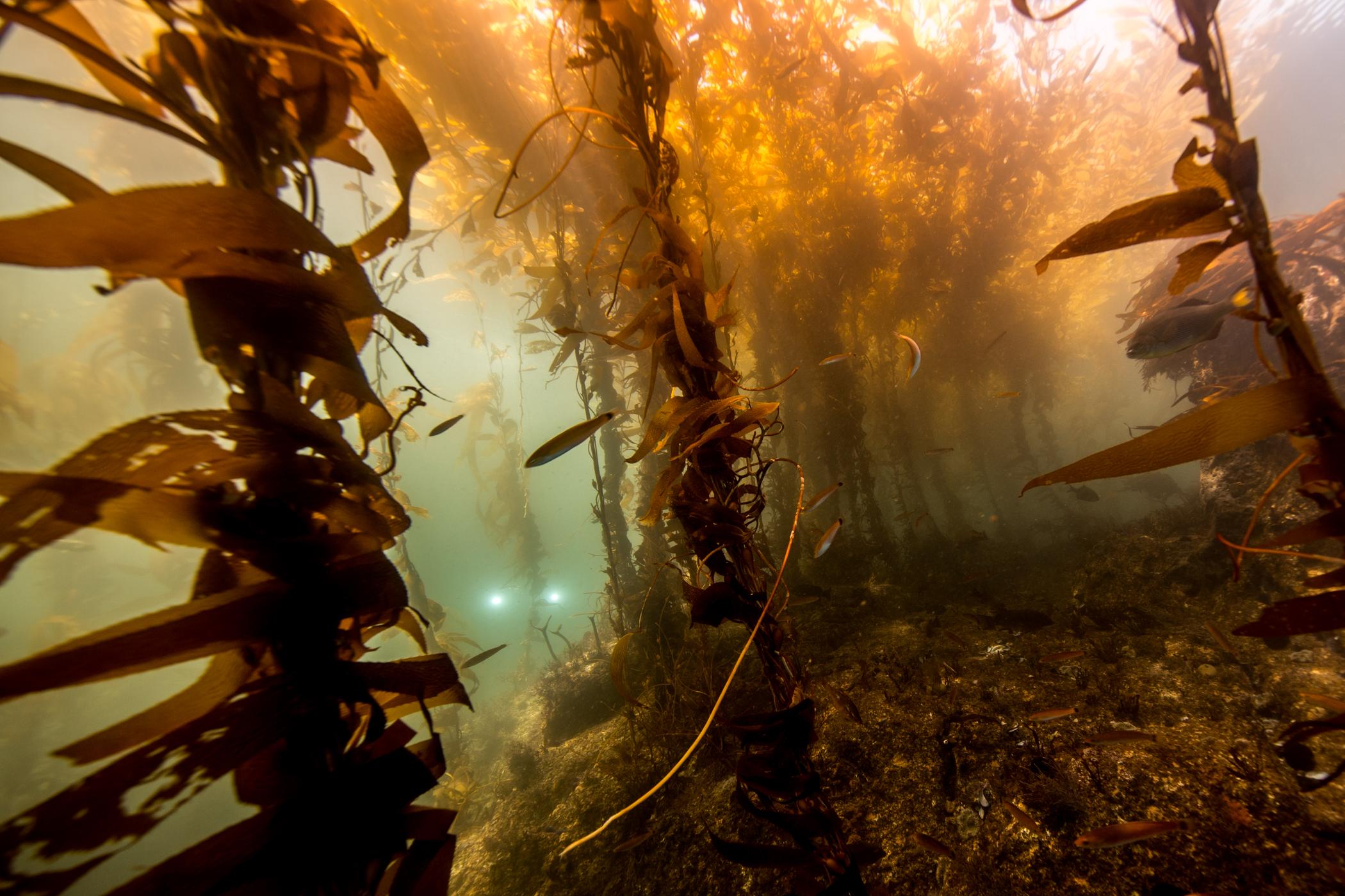 2018 Septiembre Ensenada Kelp.JPG