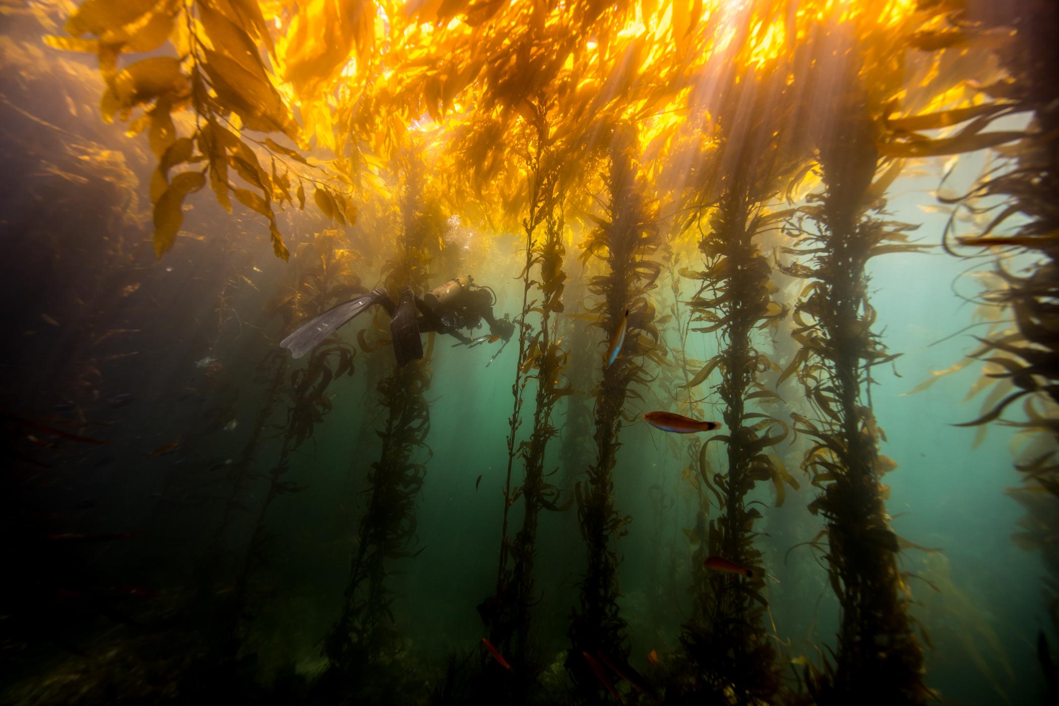 2018 Septiembre Ensenada Kelp-2.JPG
