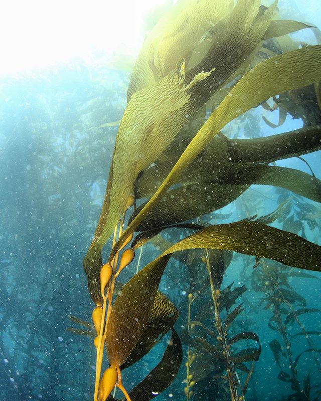 Cold water diving 🥶 ❄️ #diving #kelp #ensenada #coldwater #uwphoto #underwater #tb #mexico #nauticam #pelagiclife