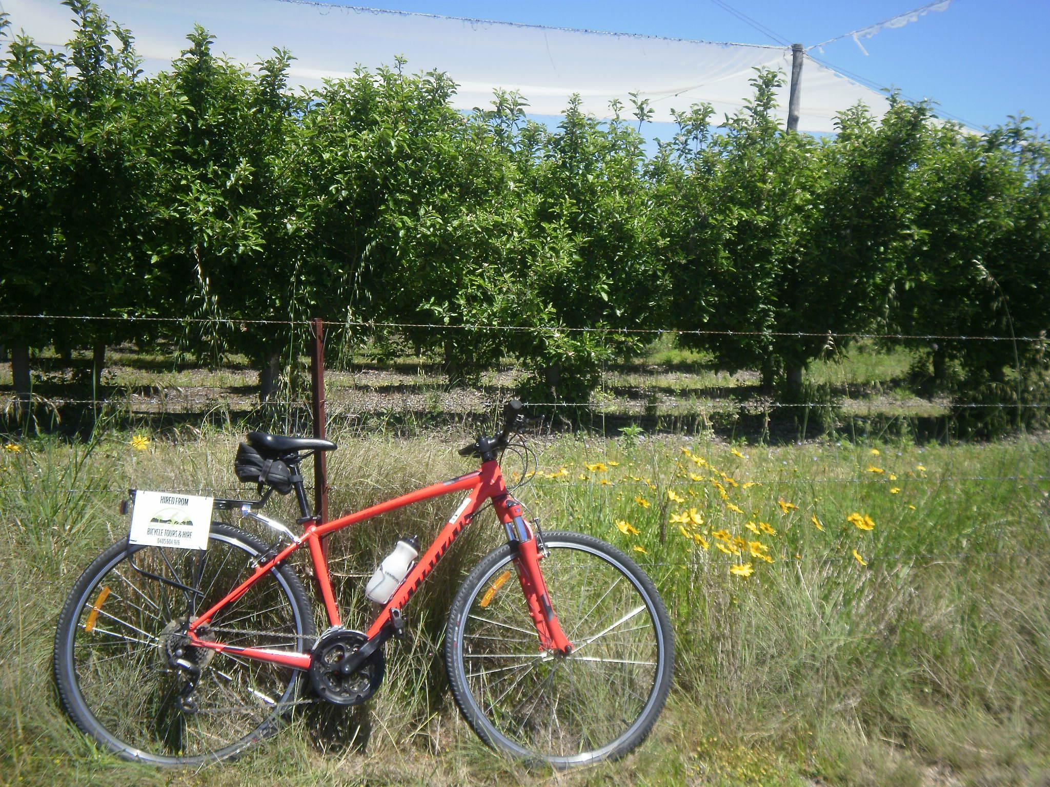 Apple orchard on the Granite Belt