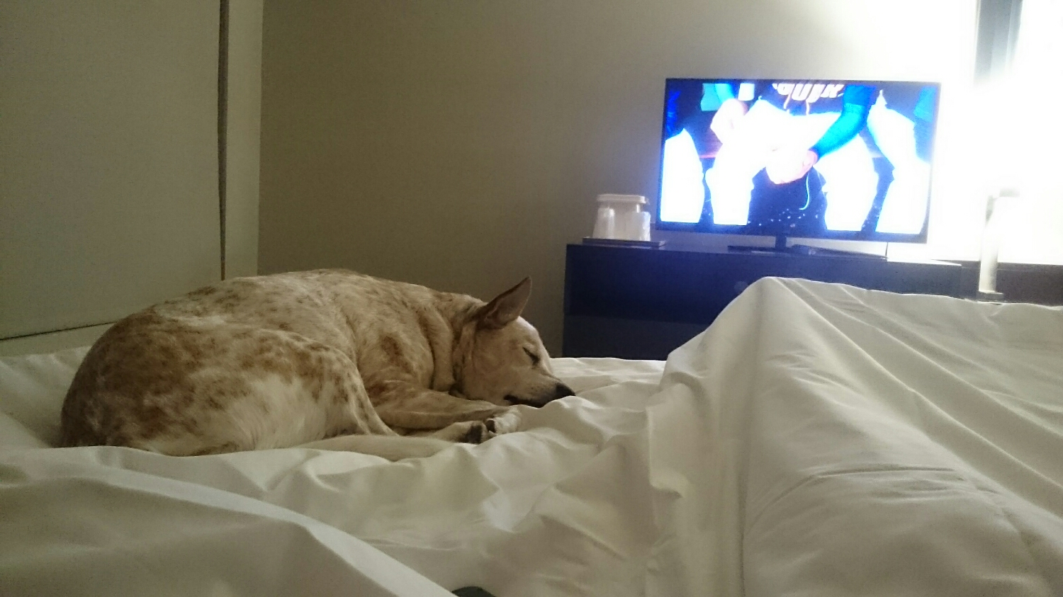 Ollie enjoys our hotel room bed.
