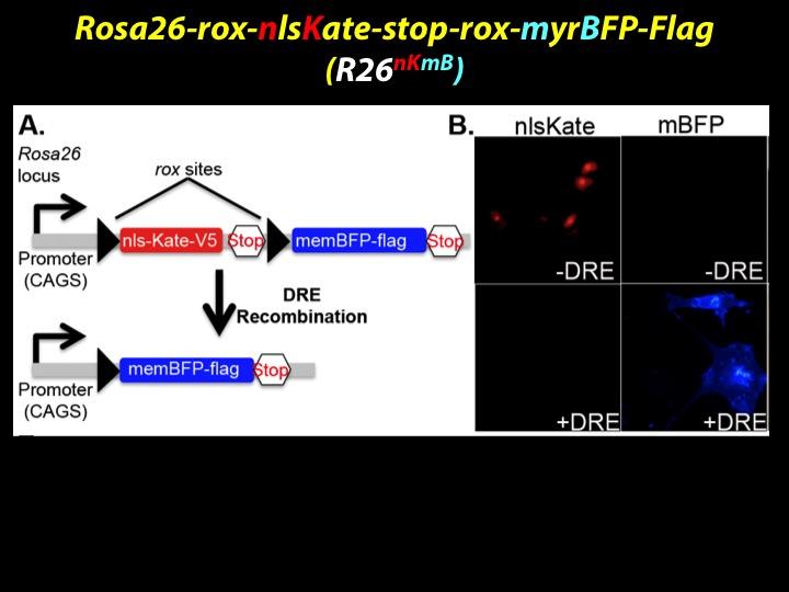 Dre Rox Model 2.jpg
