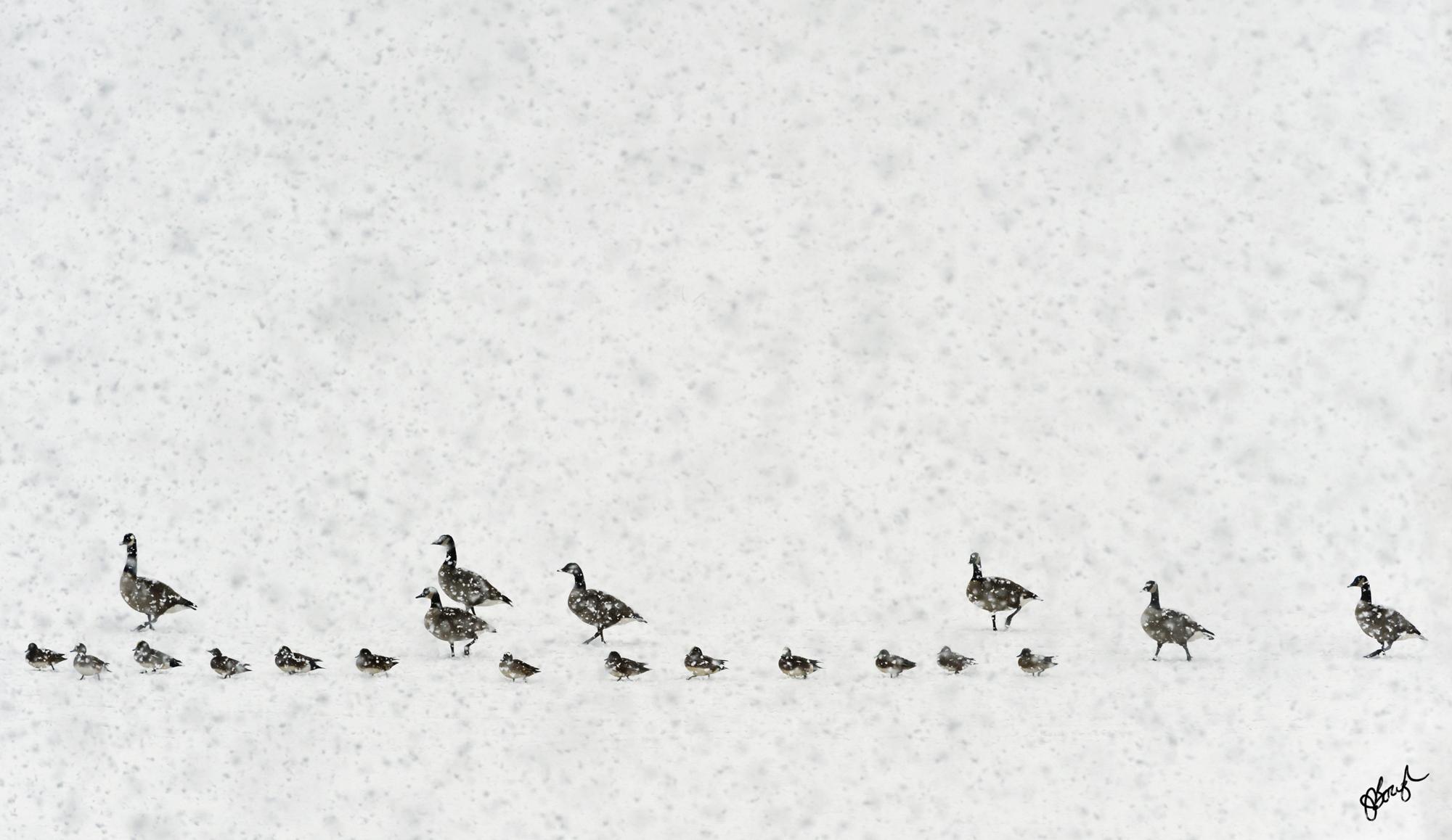 DucksNGeese-042.jpg