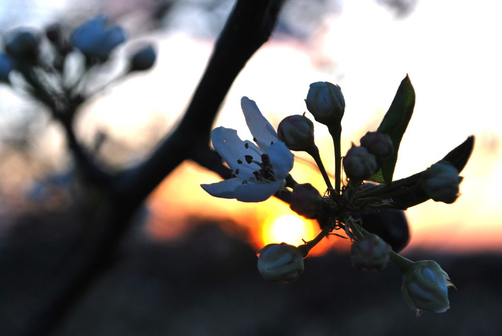 appleblossom4