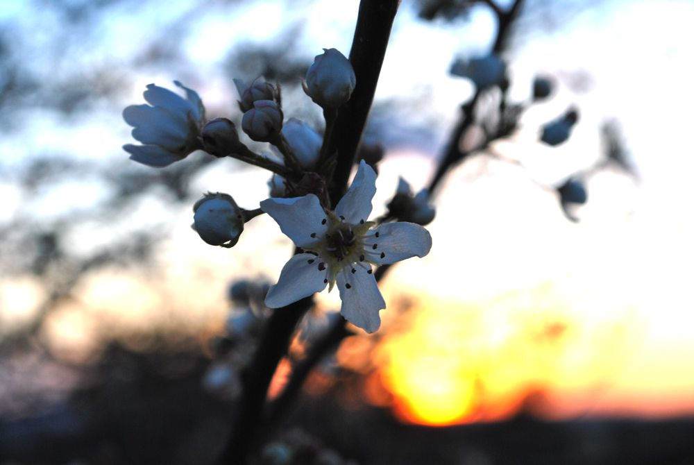 appleblossom5