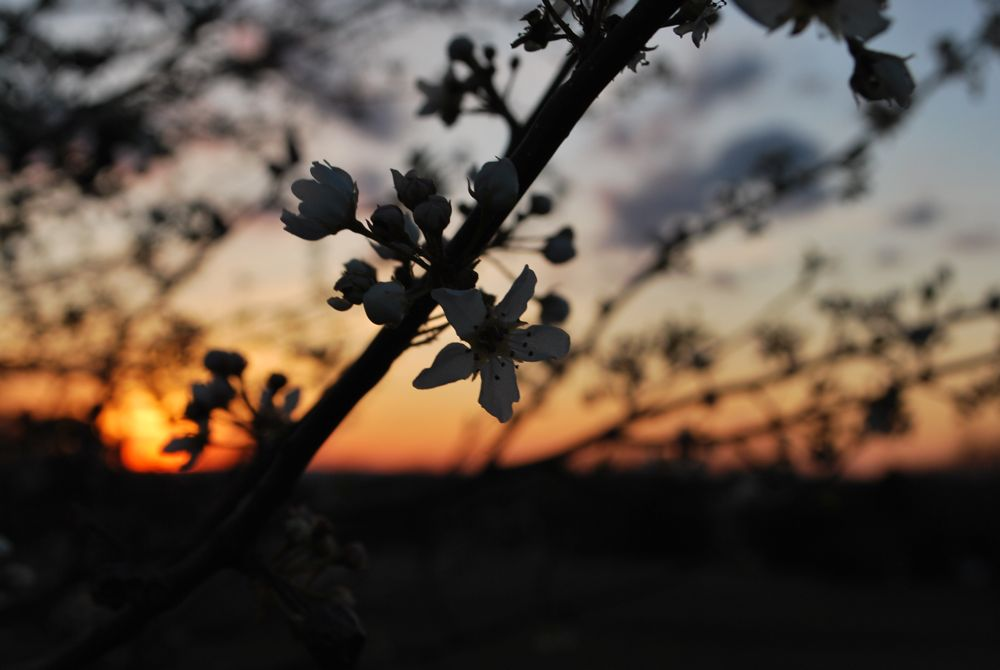 appleblossom7