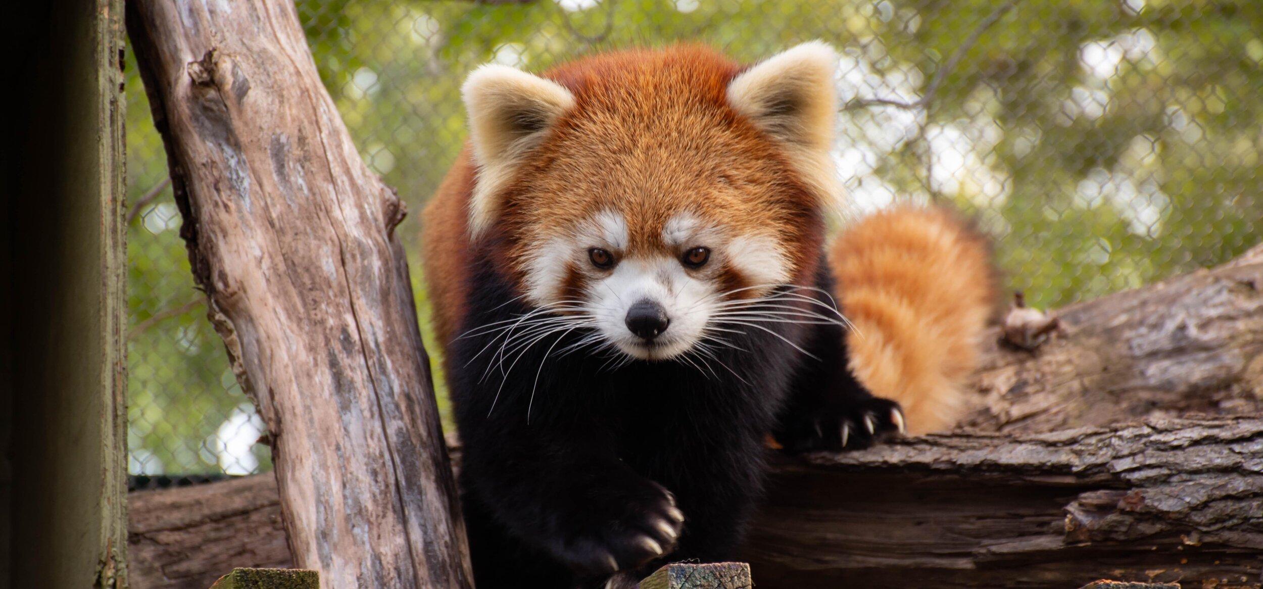 Greensboro-Childrens-Museum-Red-Panda.jpg