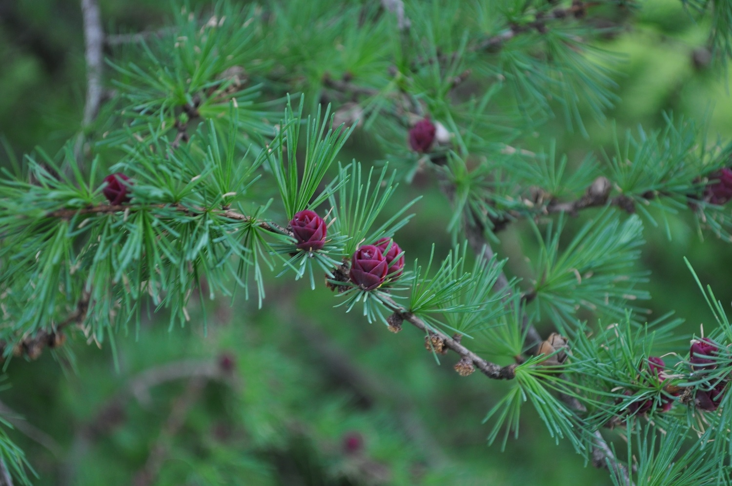 New growth on a Littlebranch American Larch ( Larix laricina )