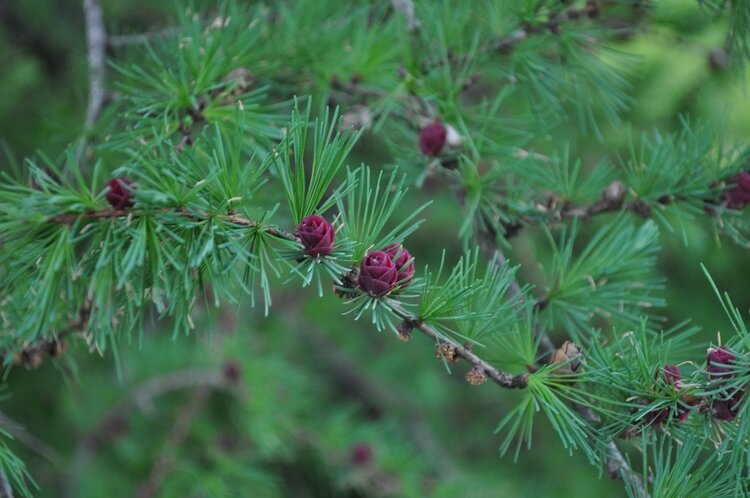 New growth on American Larch tree