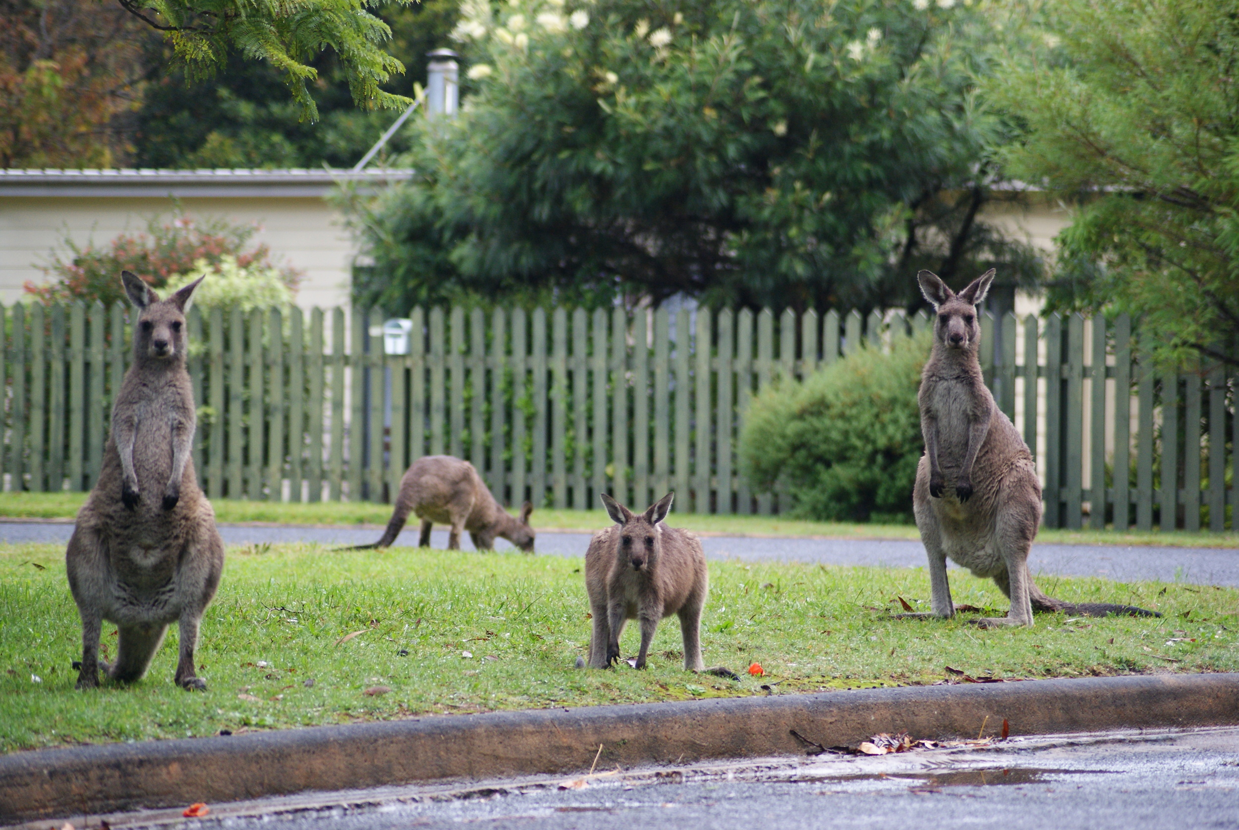 Kangaroos in South Durras