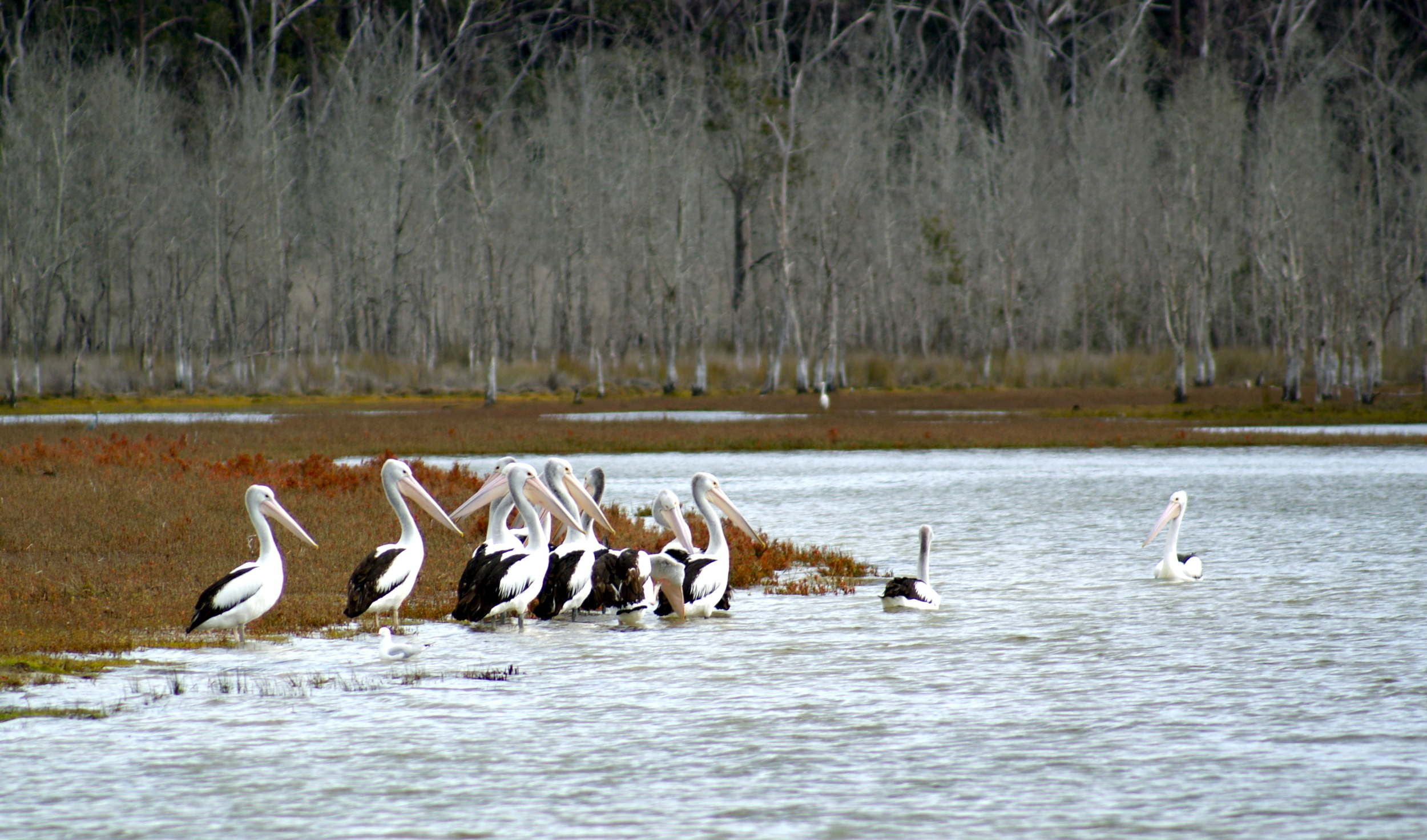 Pelicans on Durras Lake