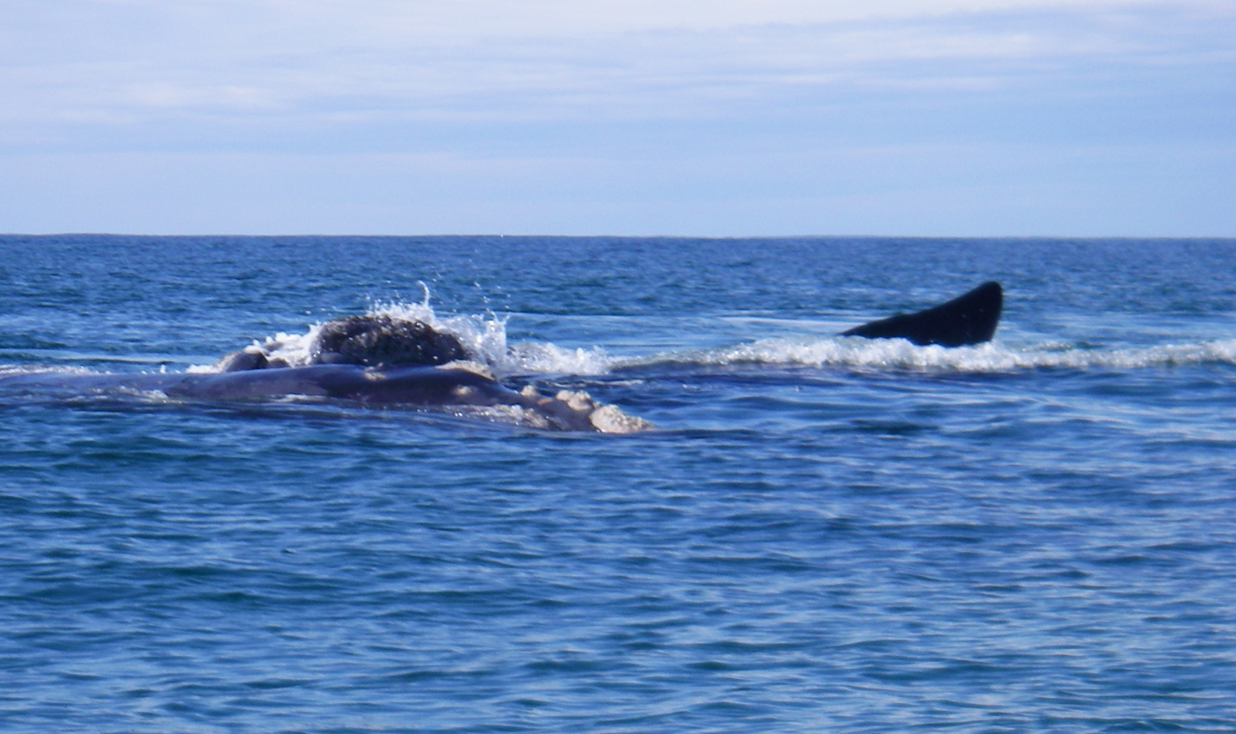 Southern Right Whale Durras Beach