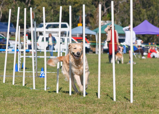 "Golden Retriever negotiates ""Weaving Poles""at speed."