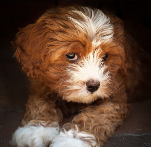 cavoodle dog.jpg