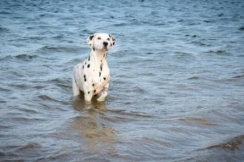 Dalmatian dog.jpg