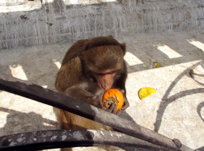 Kat_Temple_monkey with orange.JPG