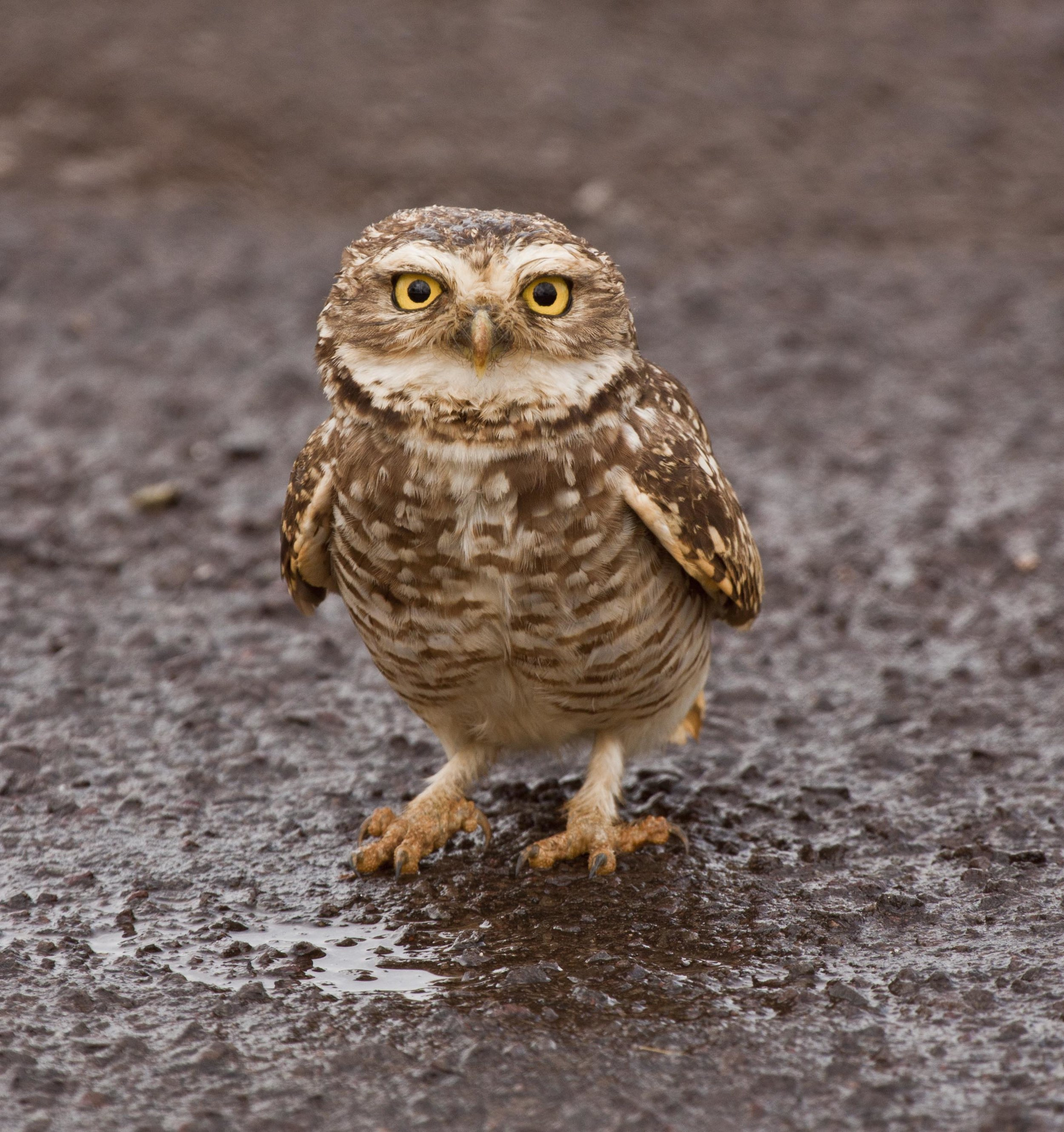 Ground owl 1.JPG