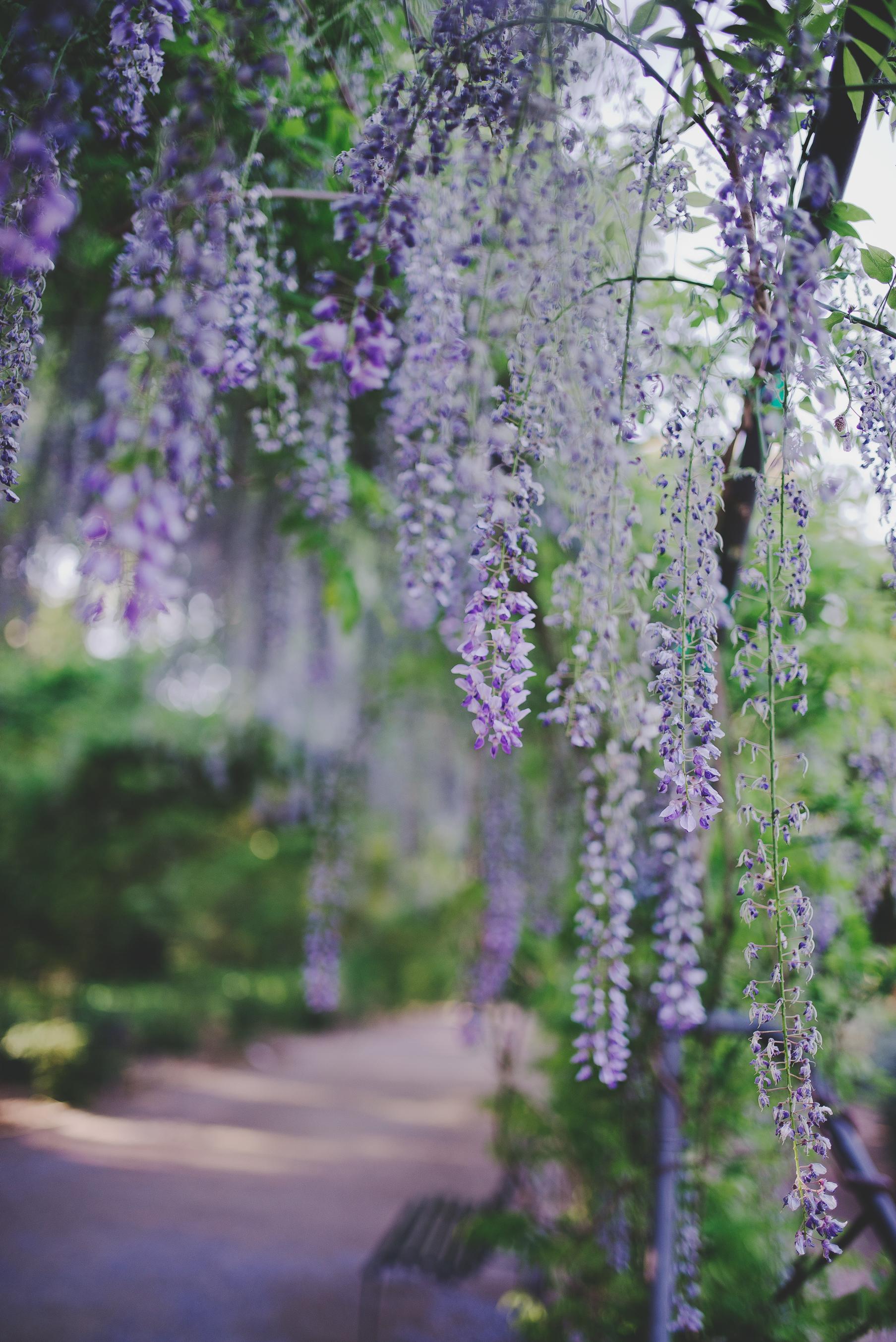 wisteria9.jpg