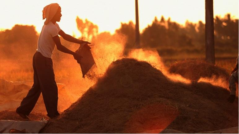 Rice Farmers in Andre Pradesh