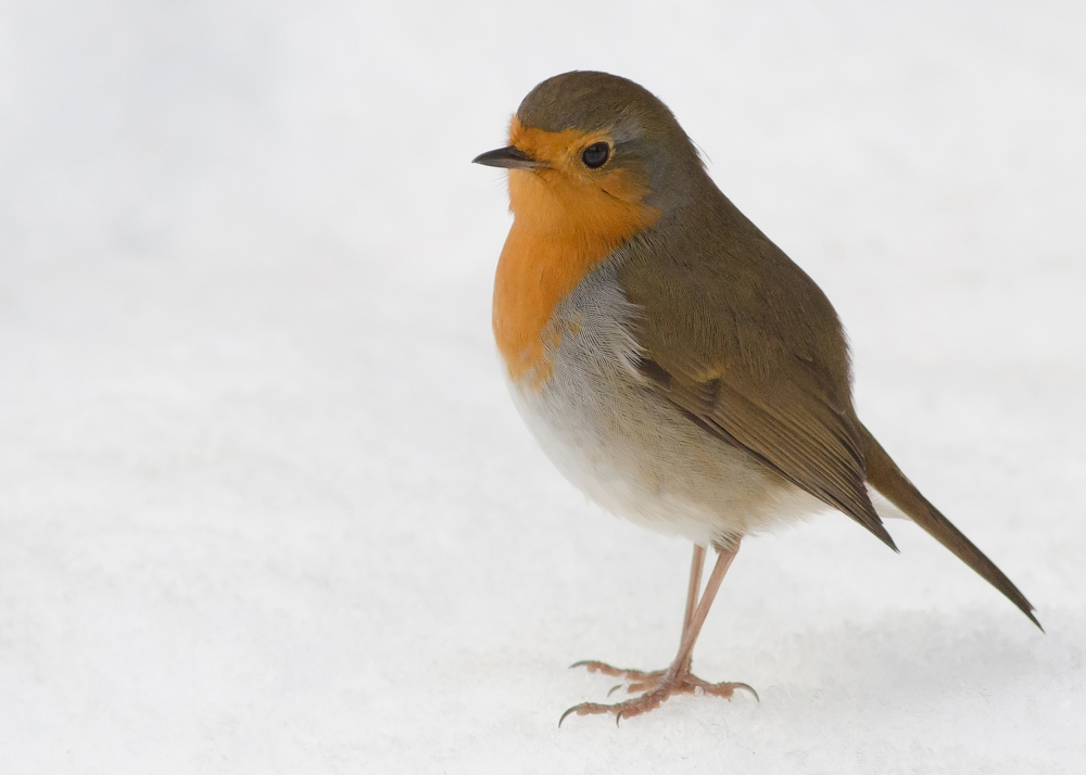 Robin-snow-background.jpg