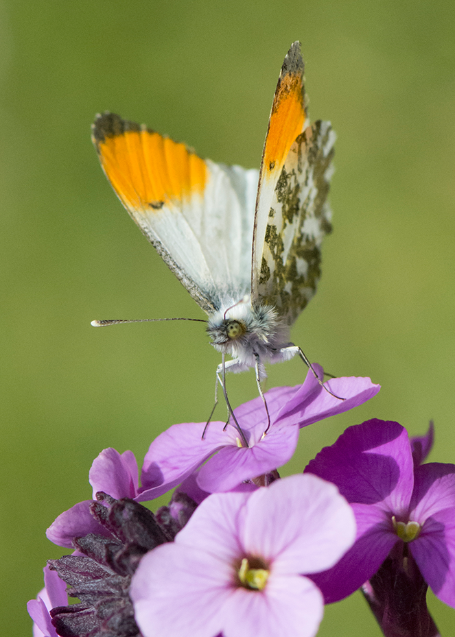 Male Orange Tip Butterfly feeding on Bowles's Mauve
