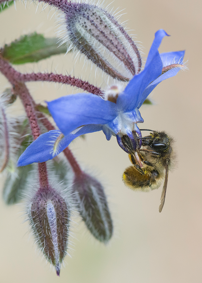 Female Red Mason Bee feeding on Borage