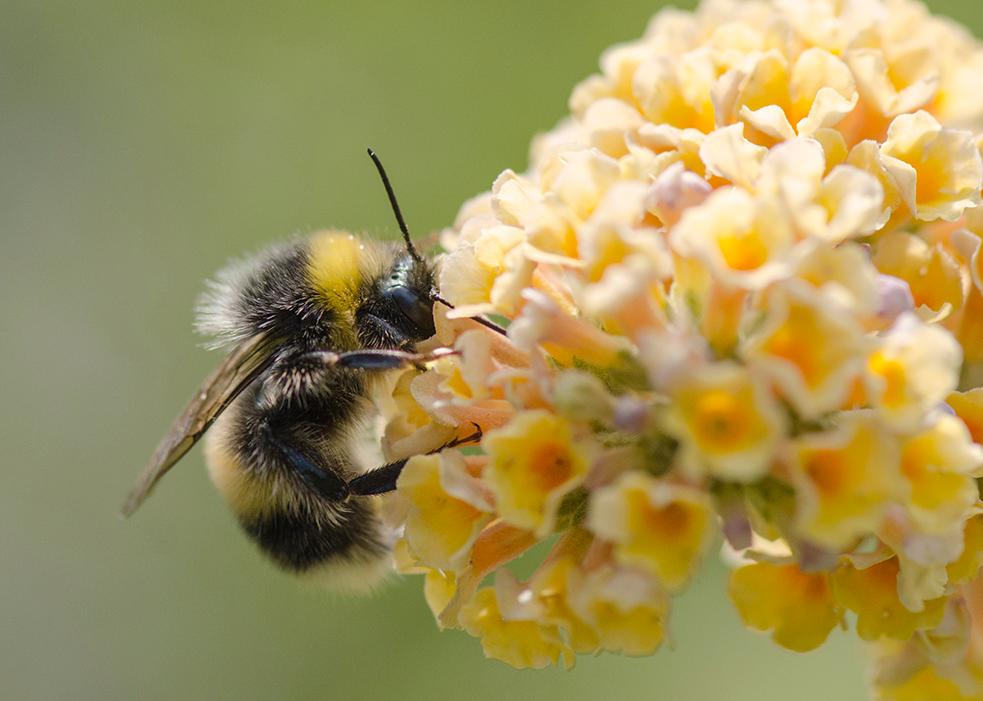 Bumblebee feeding on 'Sungold'