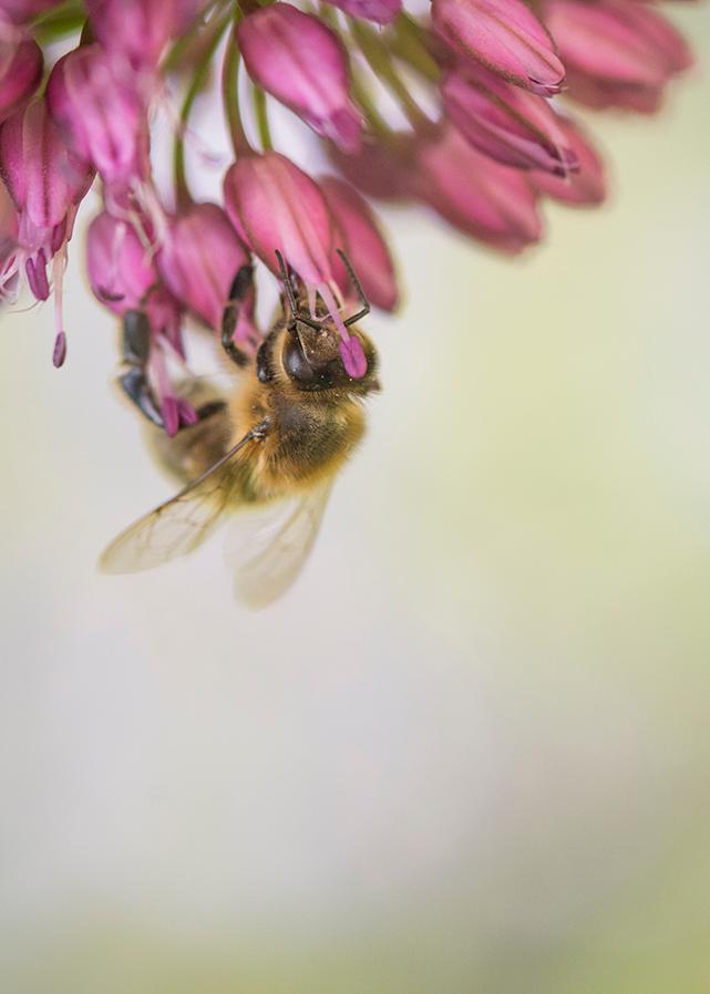 A honeybee foraging for nectar on alliums in Emma's Garden