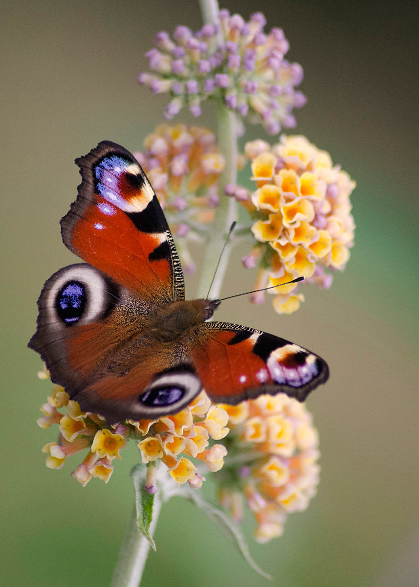 Peacock Butterfly & Buddleia Sungold