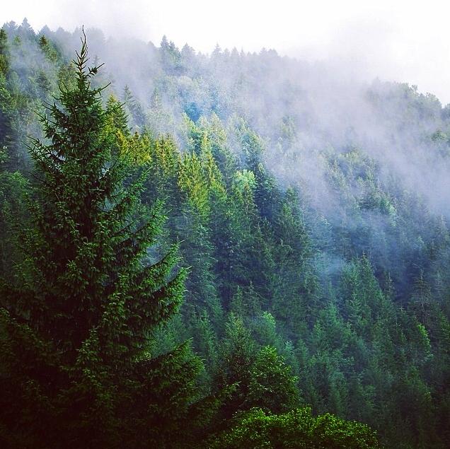 PineTrees.jpg