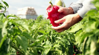 stock-footage-farmer-holding-red-pepper-in-a-pepper-field-field-workers-in-a-pepper-field-food-production.jpg
