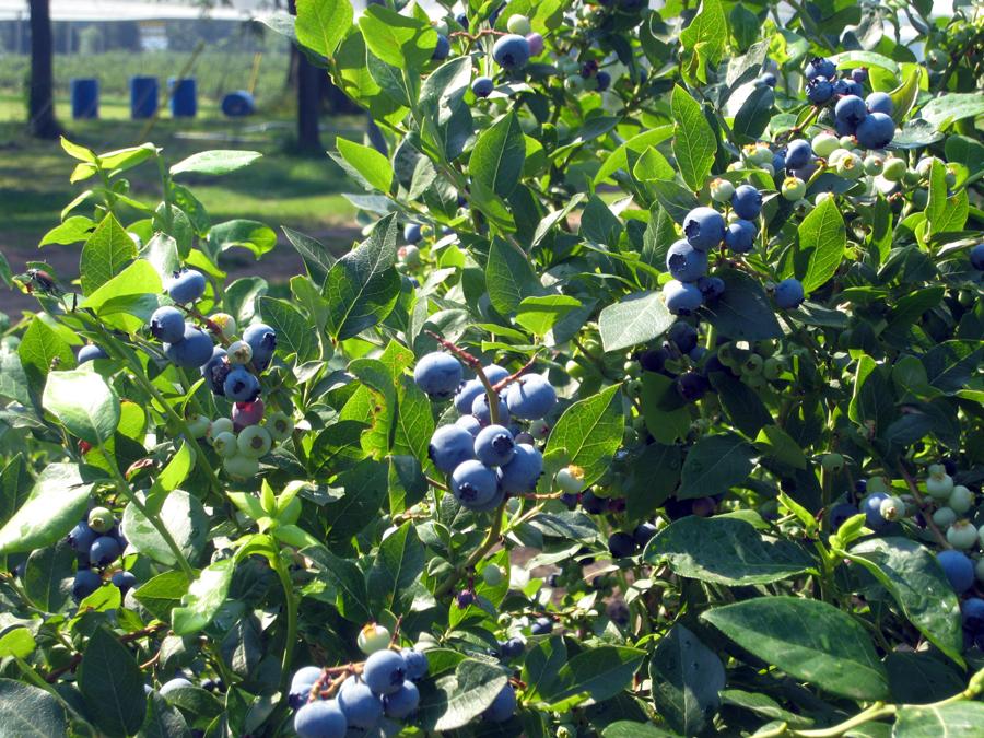 blueberry5.jpg