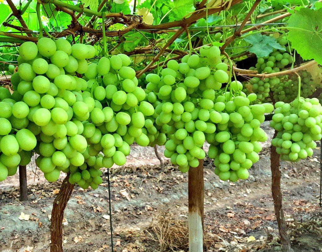 Sweet Globe Grapes.jpg