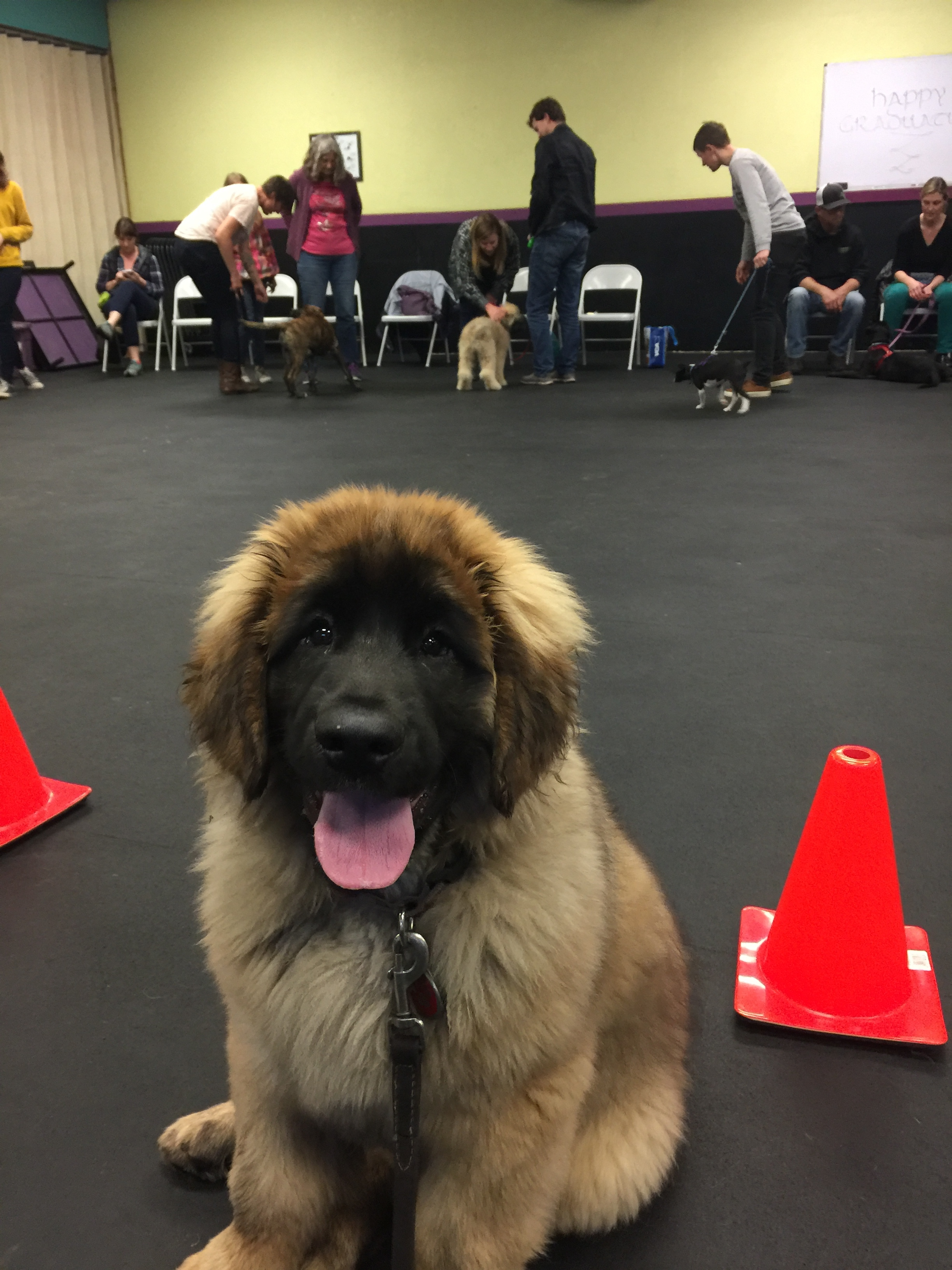 Rollo the Leonberger - Rollo is attentive and studious, just like me!