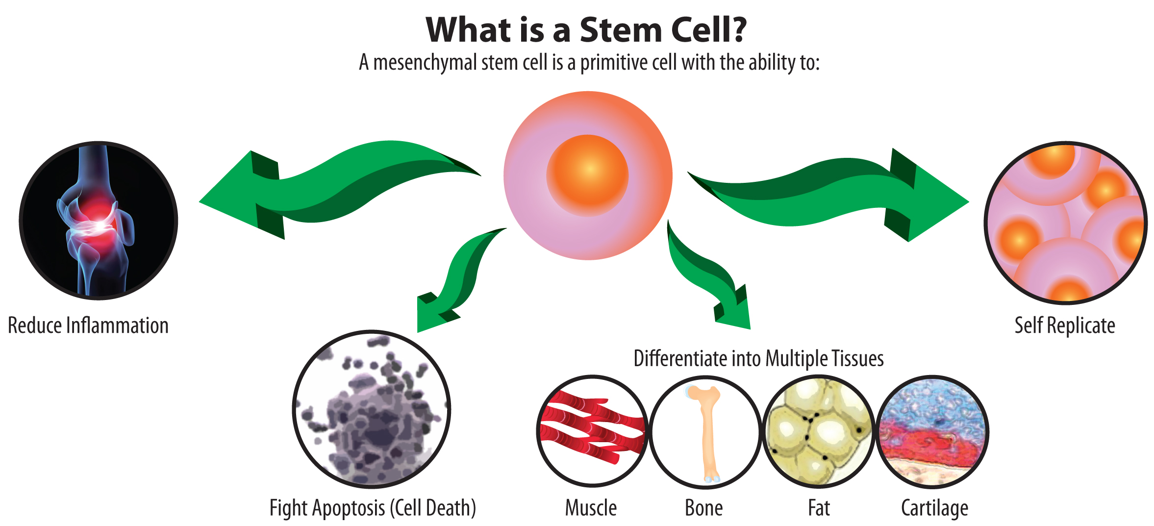 what-is-a-stem-cell-illustration.jpg