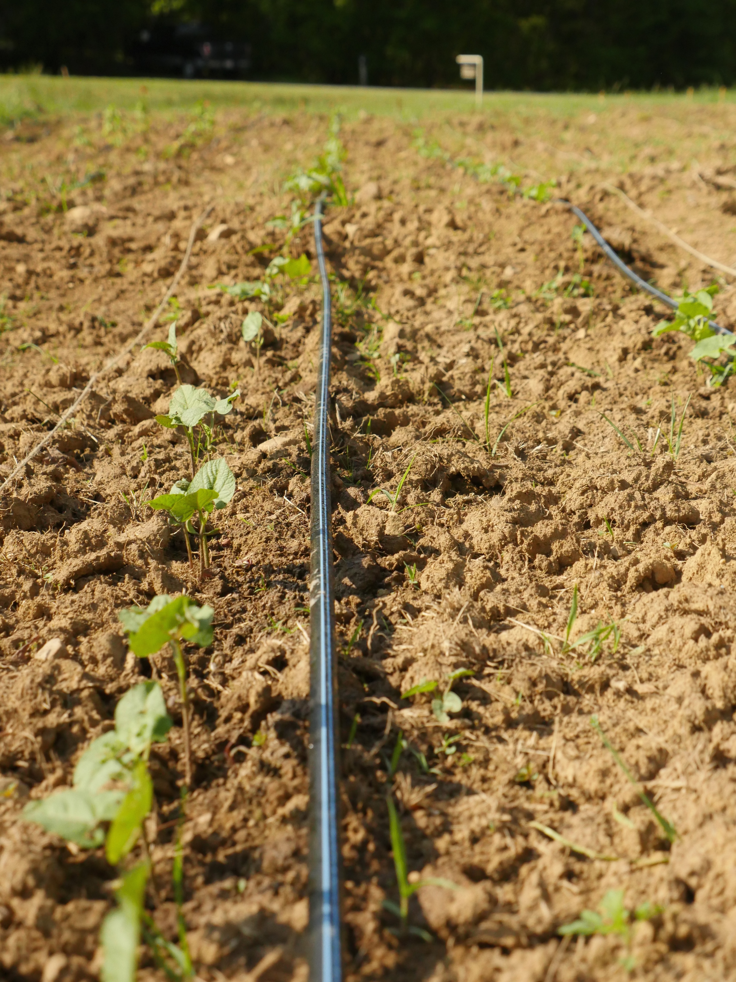 Beans germinating along the drip irrigation.